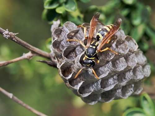 WASPS - HORNETS - BEES